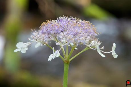 タマアジサイの花の写真