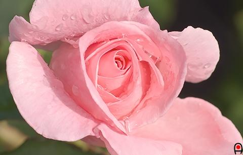 薔薇 ブライダルピンクの写真