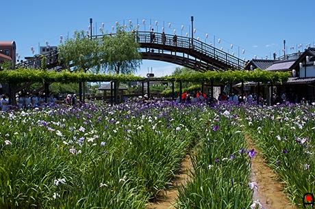 あやめ園と水雲橋の写真