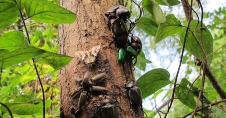 ジャングルに住むカブトムシの幼虫