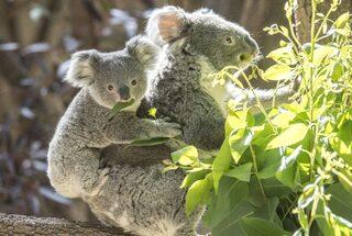 コアラがユーカリを食べている
