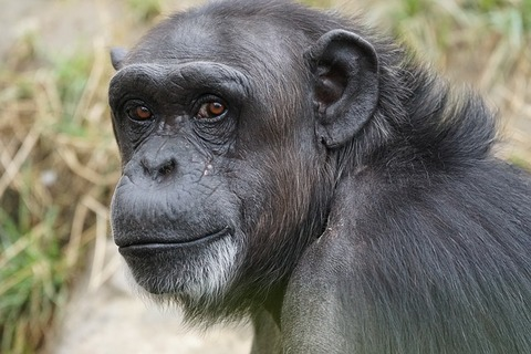 chimpanzee-871296_640
