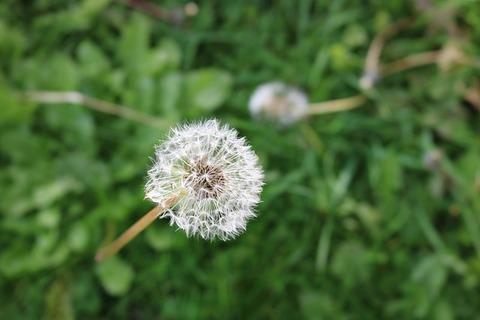 dandelion-1892991_640