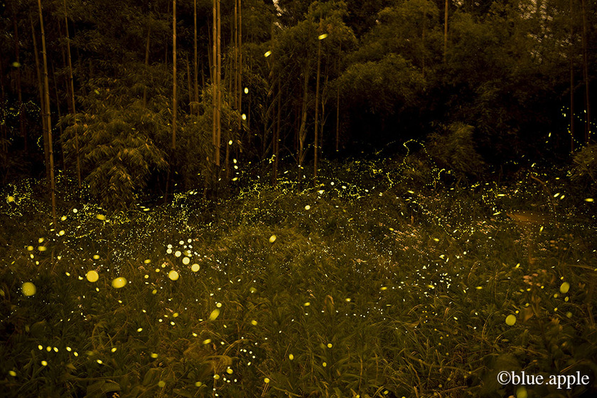 Fireflies Chichibu