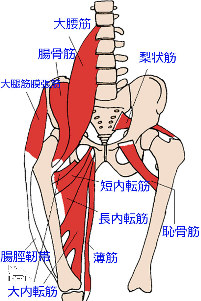 Anterior_Hip_Muscles_2-copy