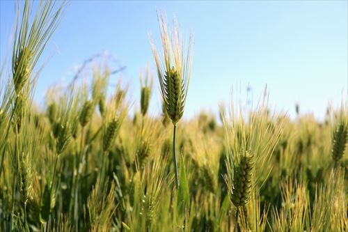 wheat-4208703_1280_R
