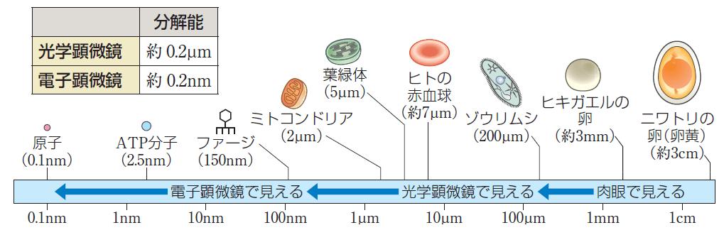 細胞の大きさ