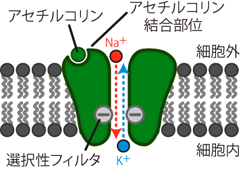 伝達物質依存性チャネル