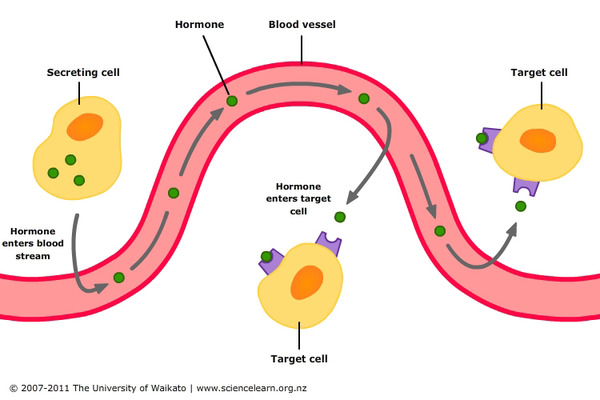 細胞外でのシグナル伝達 | BioHu...