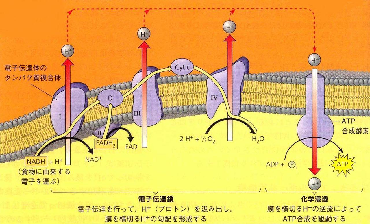 呼吸の仕組み-解糖系・クエン酸...