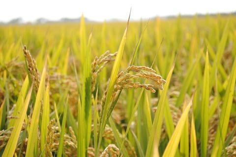 in-rice-field-2679155_640