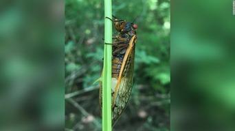 zombie-cicadas-west-virginia-fungus-scn-trnd-super-169
