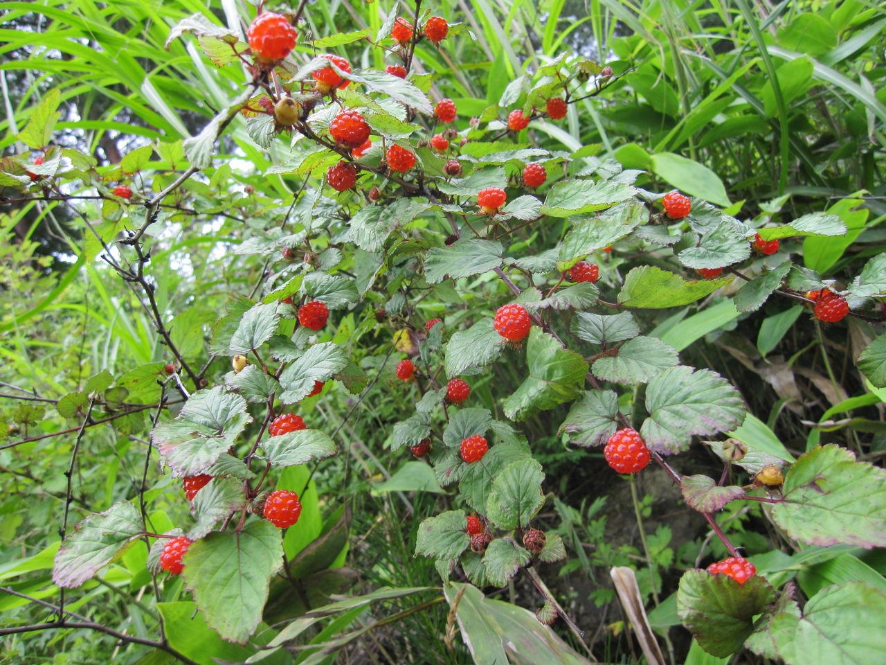 ファーム庵:赤い野イチゴ