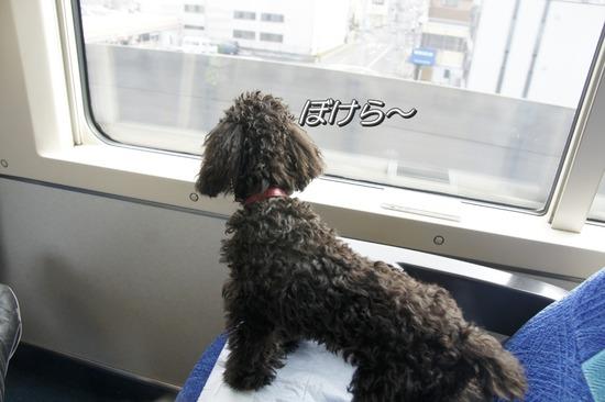 銀座トイプードルリリーas know as de wan46