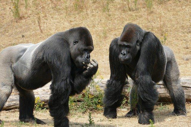 gorilla-3526174_640