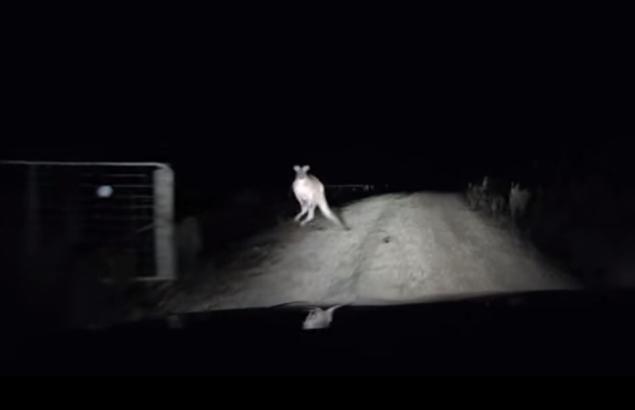 kangaroo-attacks-car