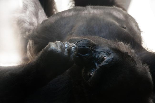 gorilla-845124_960_720