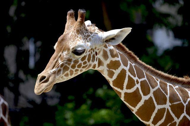 giraffe-1471010_640
