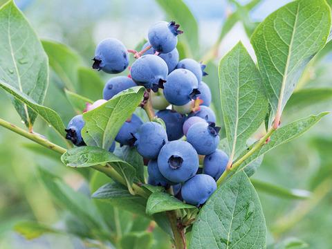 howto_kaju_blueberry_img_01