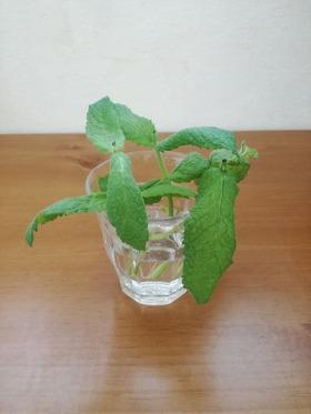 ペパーミント挿し木 (2)