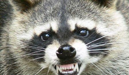 Images related to raccoon zombie America Ohio - 01