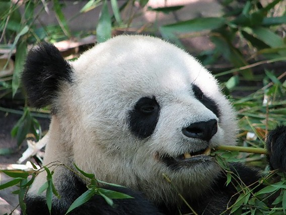 「パンダは竹しか食べない 迷信」の画像検索結果