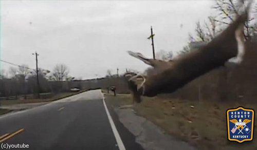 鹿とパトカーが接触事故05
