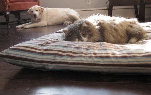 猫にベッドを奪われる犬たち08