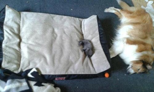 猫にベッドを奪われる犬たち22