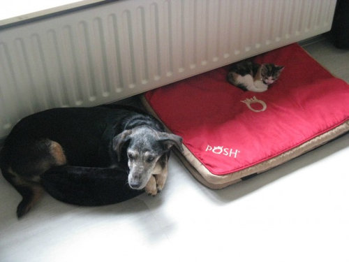 猫にベッドを奪われる犬たち02