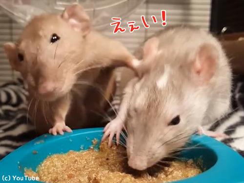 ネズミの食事バトル00