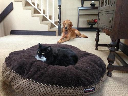 猫にベッドを奪われる犬たち03