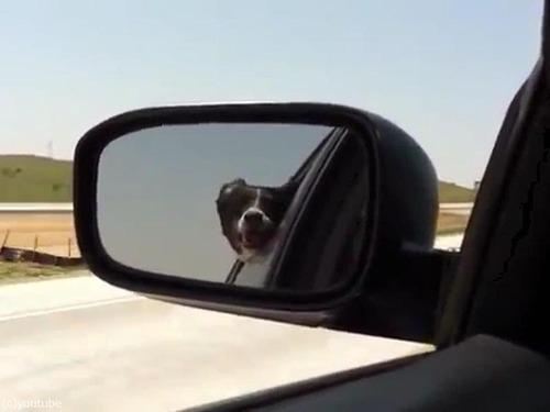 通り過ぎる車に噛みつこうとする犬00