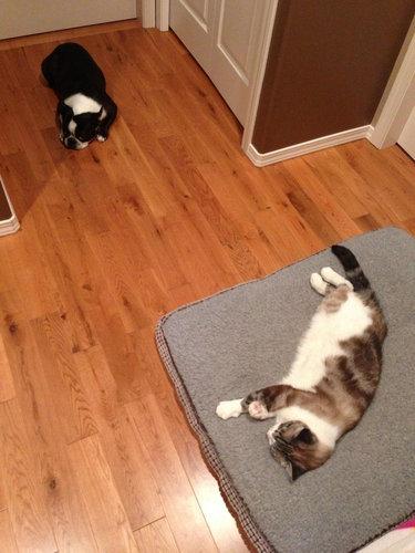 猫にベッドを奪われる犬たち11