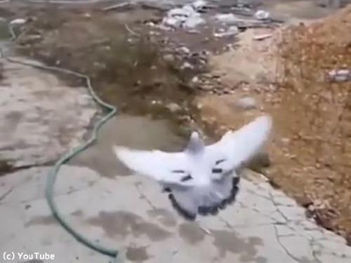 ハトの身体能力00