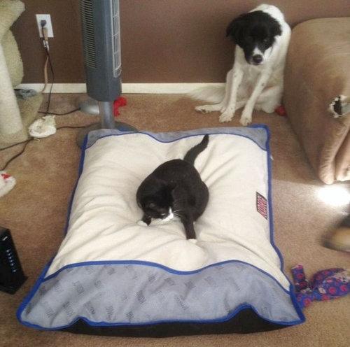 猫にベッドを奪われる犬たち12