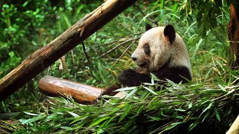 140703ササを食べるパンダ@中国 重慶市