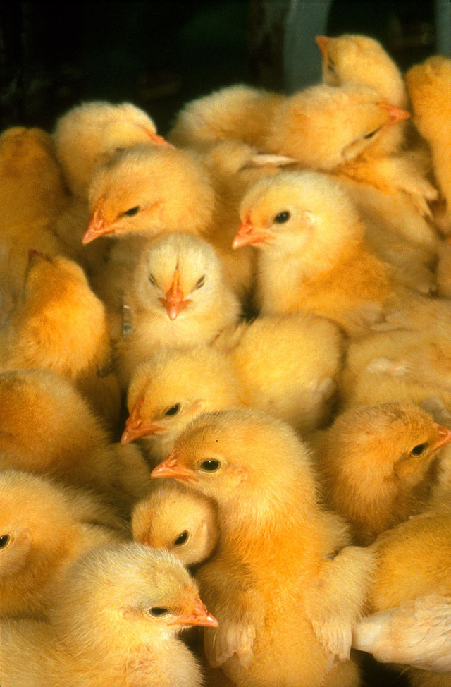 800px-More_chicks