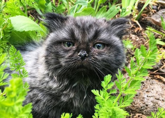 dwarf_kitten_01