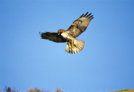 red-tailed-hawk-flying