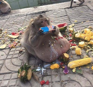 obese_monkey_01