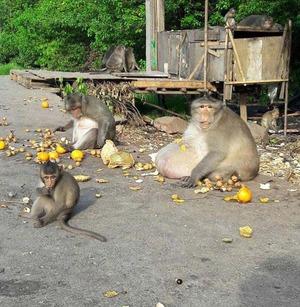 obese_monkey_07