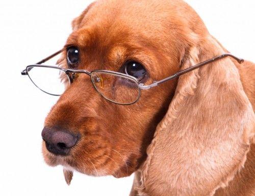 犬の認知症、人間並みに発症