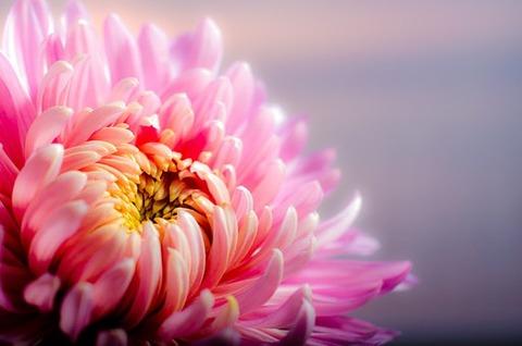 chrysanthemum-202483__340