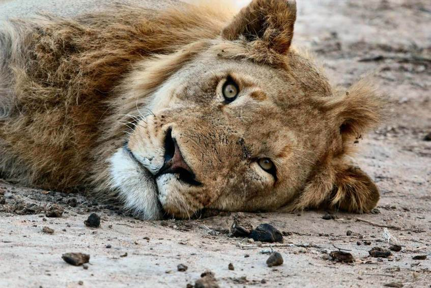 A lion resting in savaana