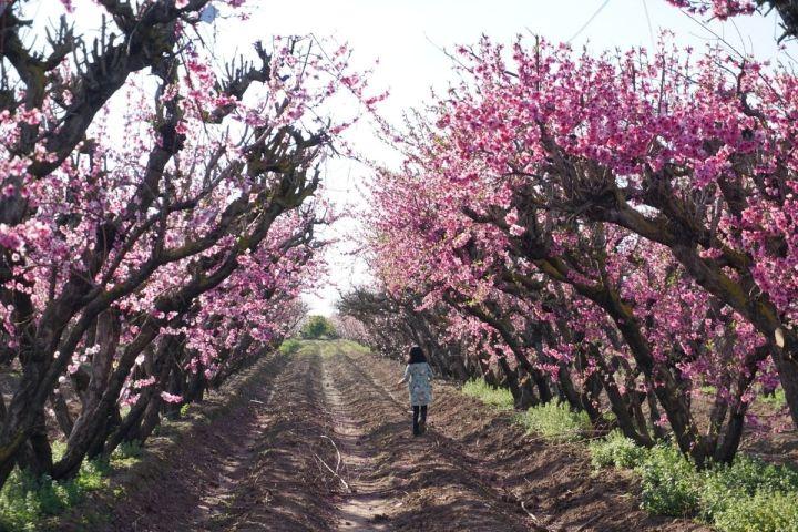 girl walking between pink blossoms