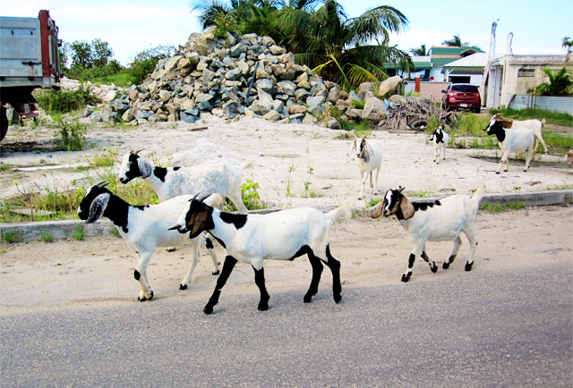 Goats on the Island of St. Maarten