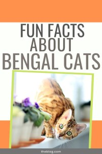 how long do bengal cats live