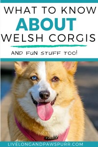 how long do welsh corgis live