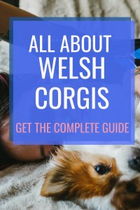 All About Welsh Corgi's #welshcorgis #corgis #smalldogbreed #mediumdogbreed #welshcorgi #corgibreed